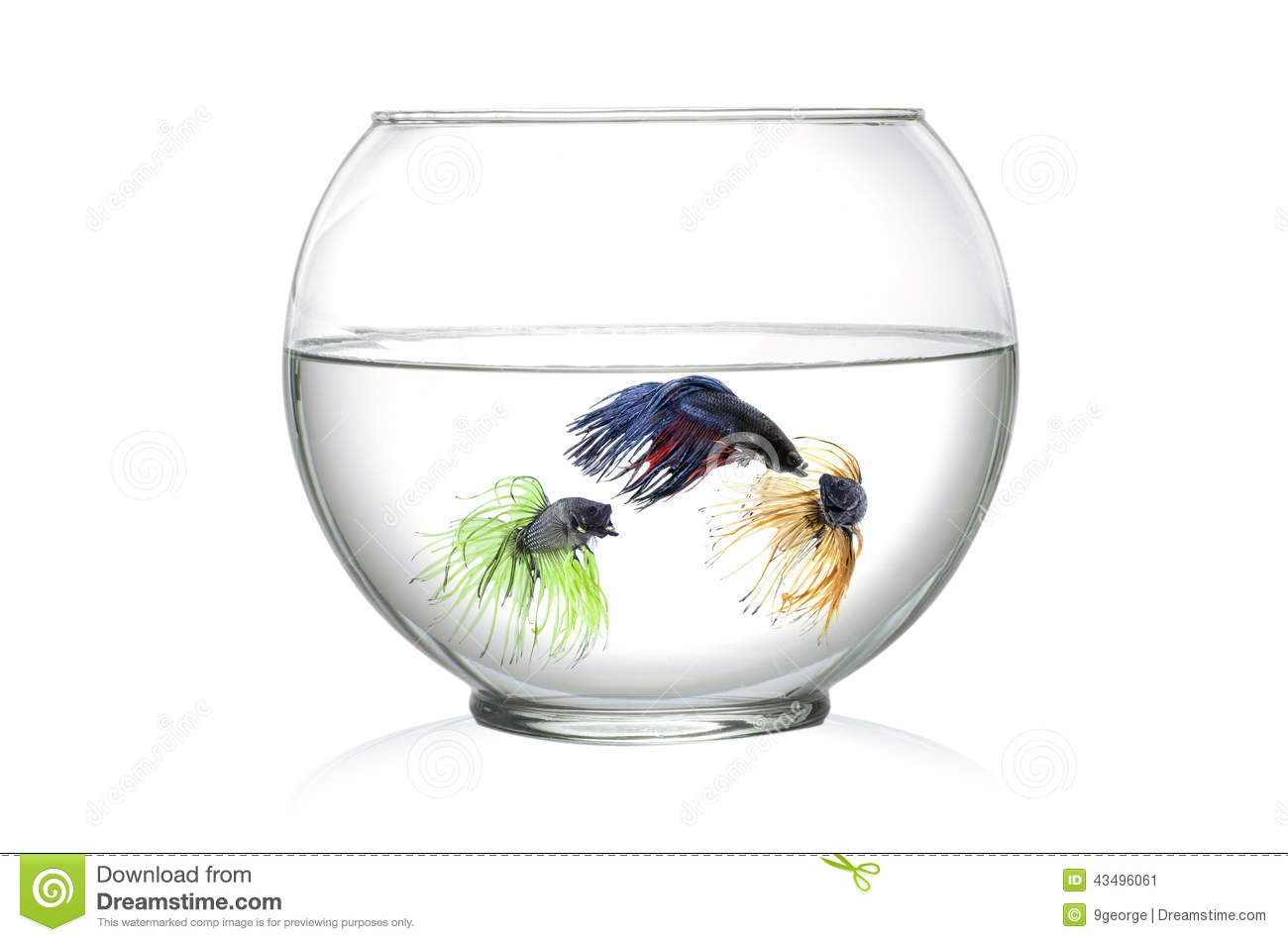 Three siamese fighting fish in fish bowl in front of for How to make a fish bowl