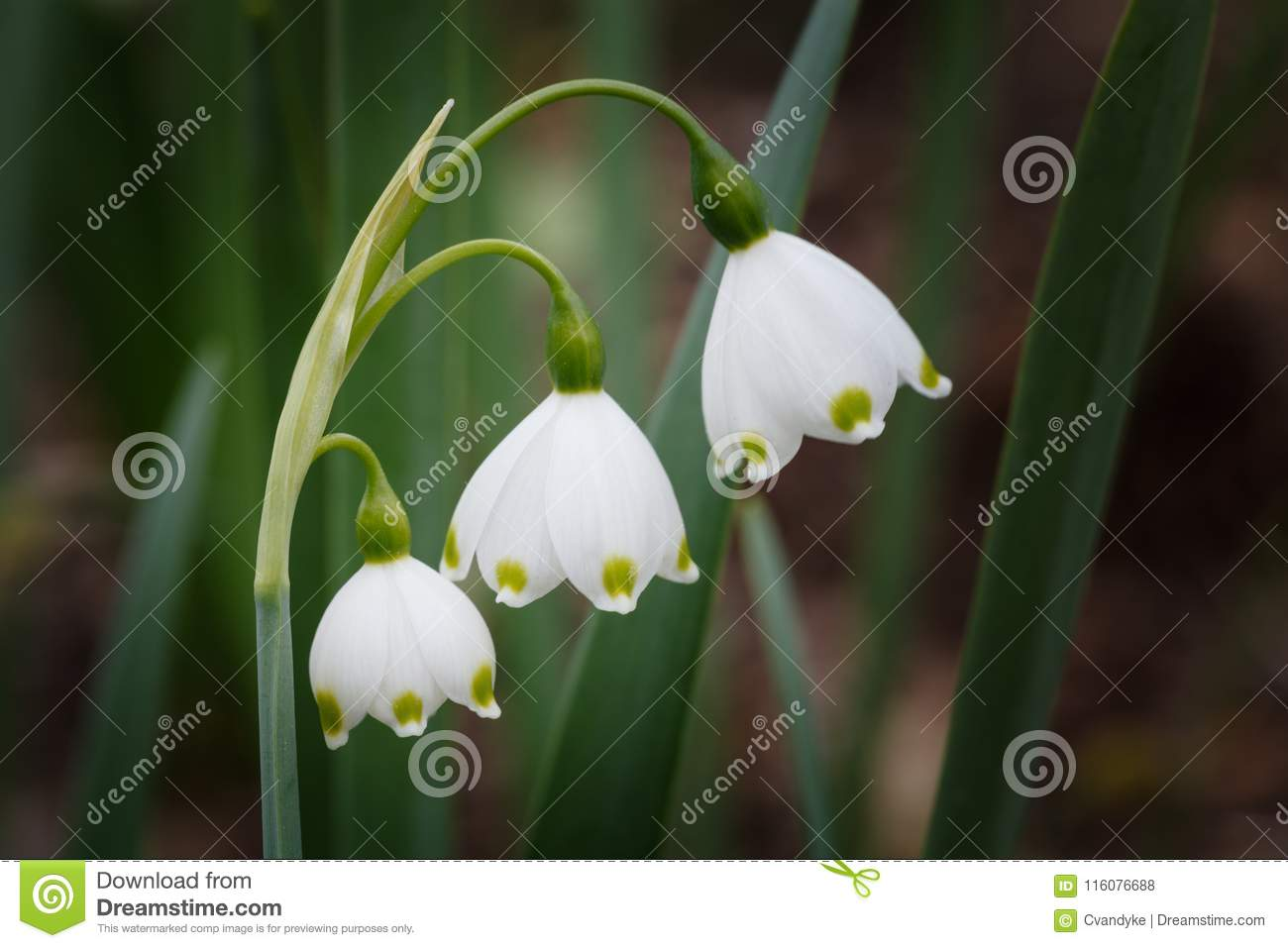 Snow drop flowers galanthus in bloom stock photo image of shaped three single small white drooping bell shaped snow drop flowers in an outdoor garden in virginia mightylinksfo