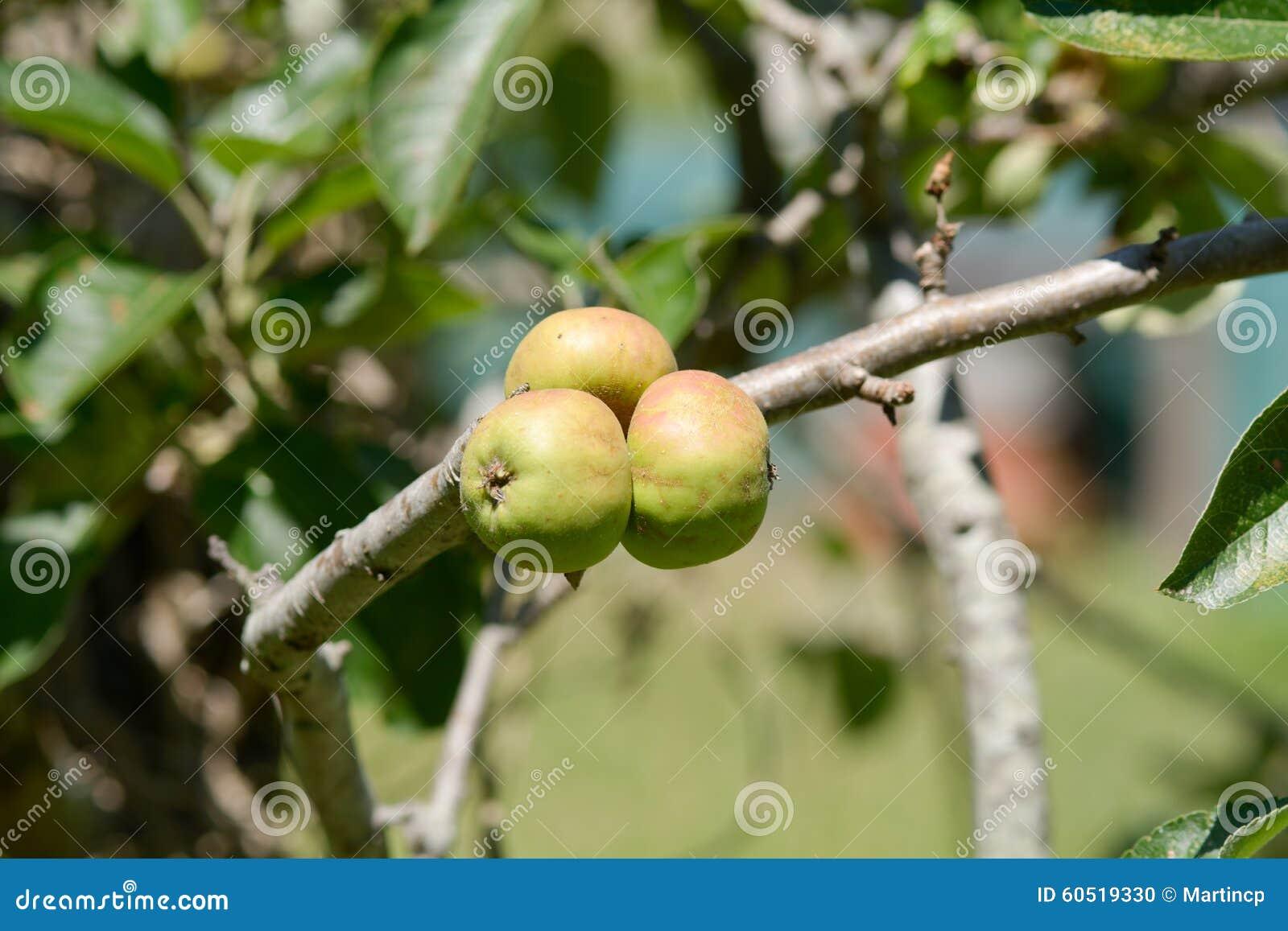 Three small apples growing on tree