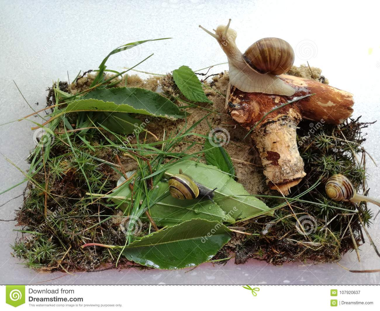 Microcosm Home Snails Three Snails In The Terrarium Stock Image Image Of Three Snails 107920637