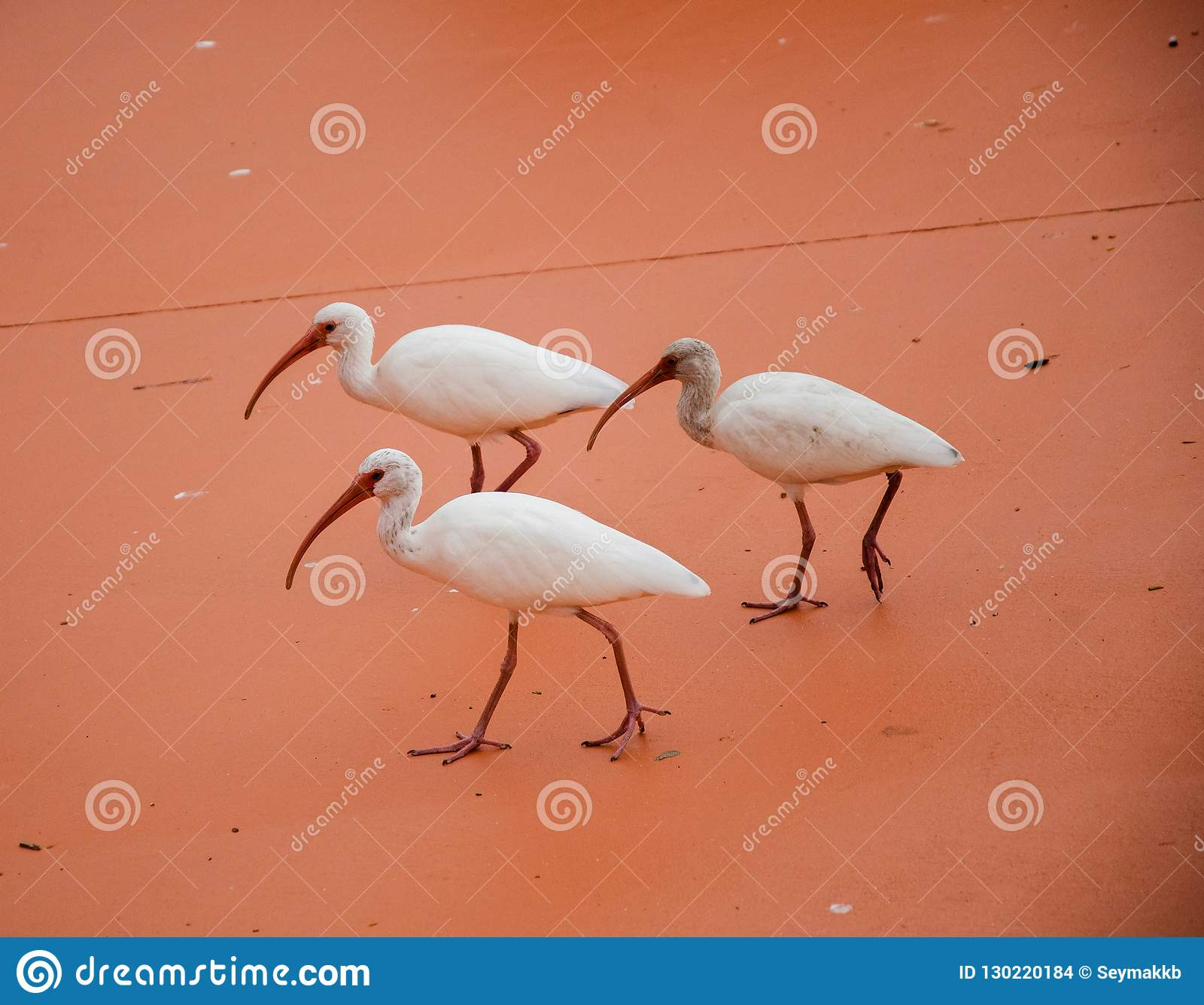 Three Spoonbills Walking