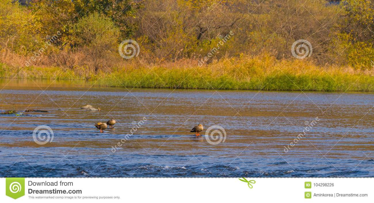 Three Spot-billed Ducks In Shallow Water Stock Photo