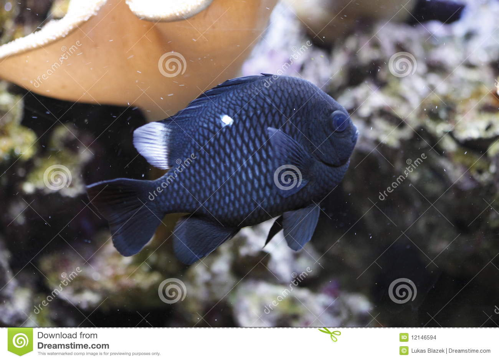 Three spot damselfish - photo#20