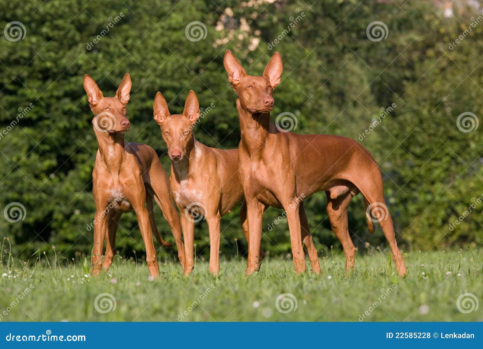 Three standing dogs - Pharaoh Hound