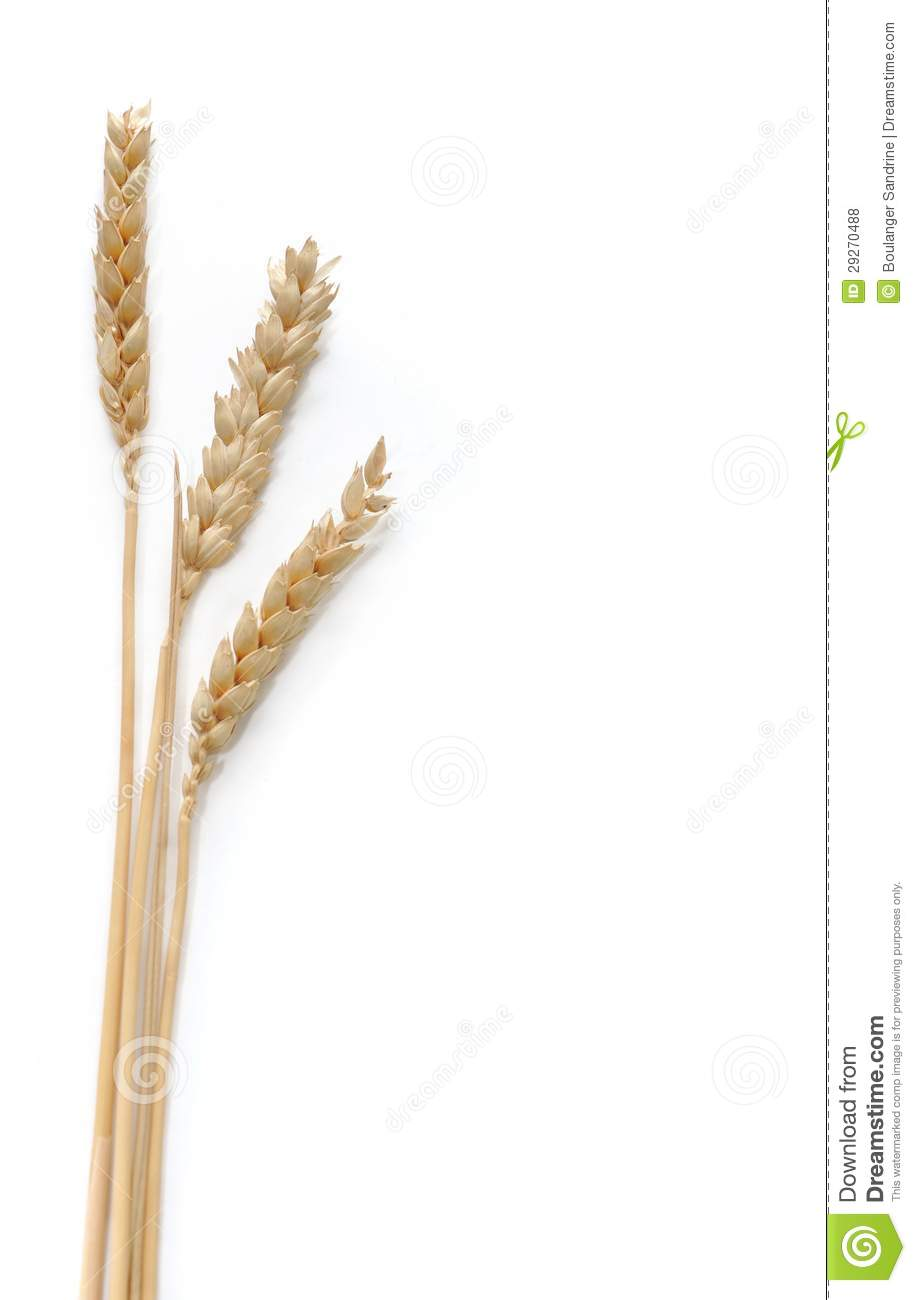 Three strands of wheat arranged on the left side on white background ...