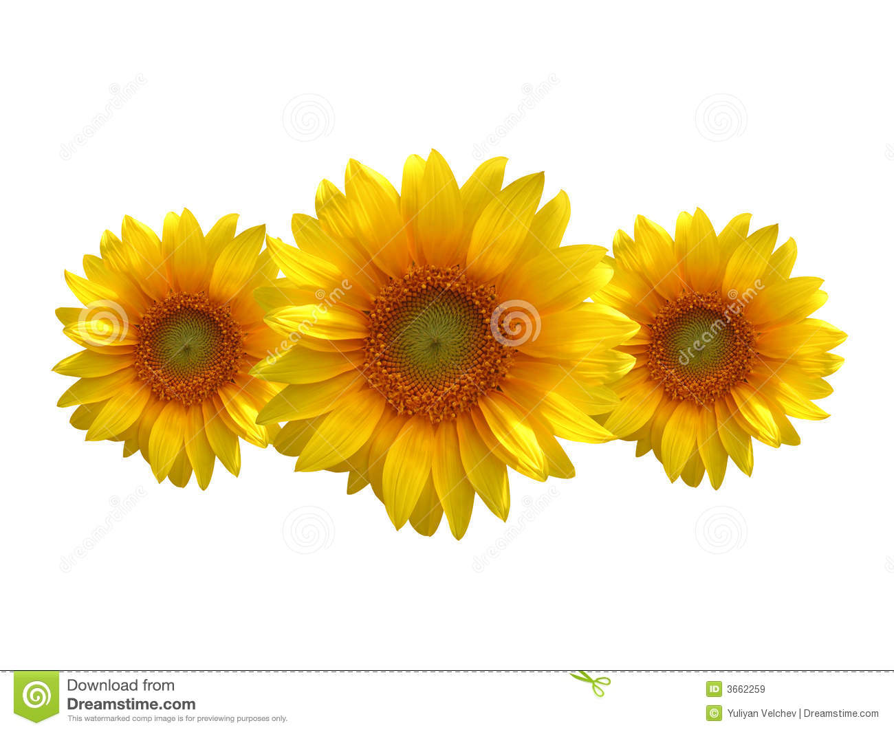 Three Sunflowers Royalty Free Stock Images - Image: 3662259