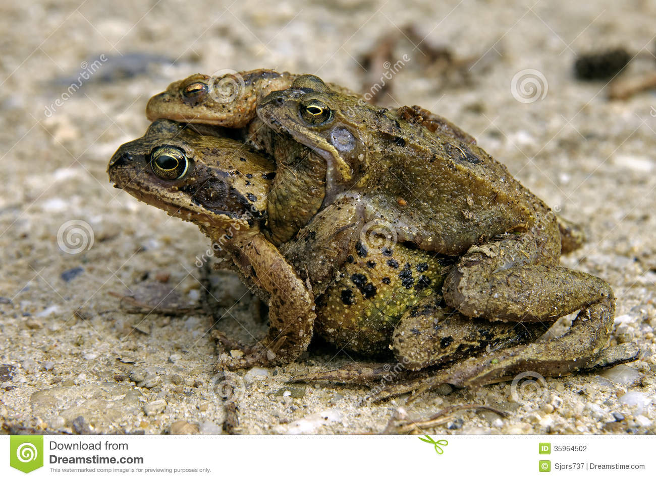 Amphibians Toads The amphibians pull or toad