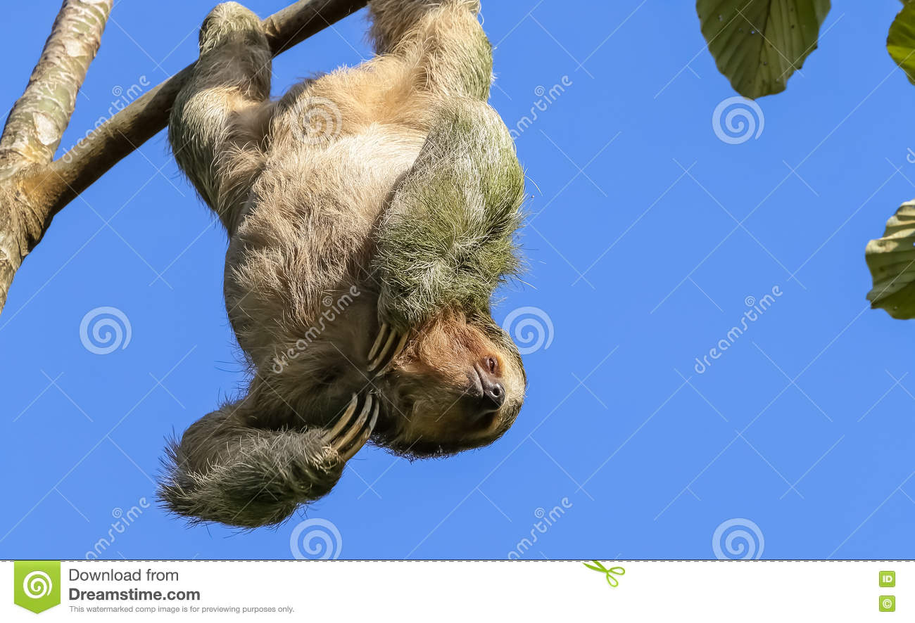 three toed sloth hanging in a tree stock photo image of