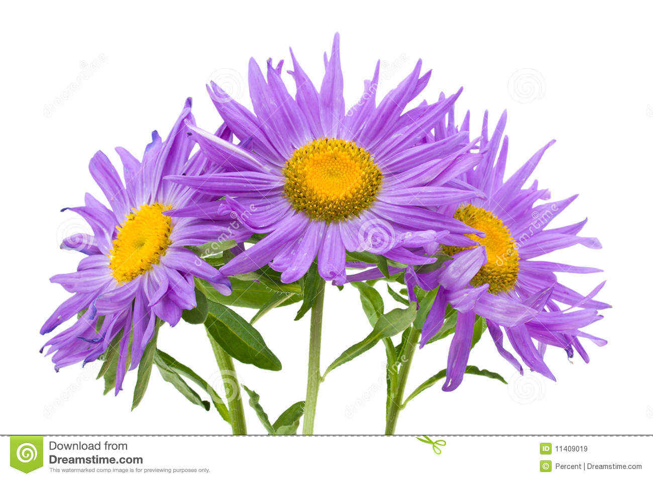 Violet aster isolated stock photo. Image of aster, nature