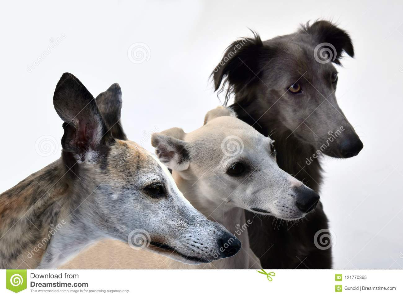 Three whippets side by side, portraits