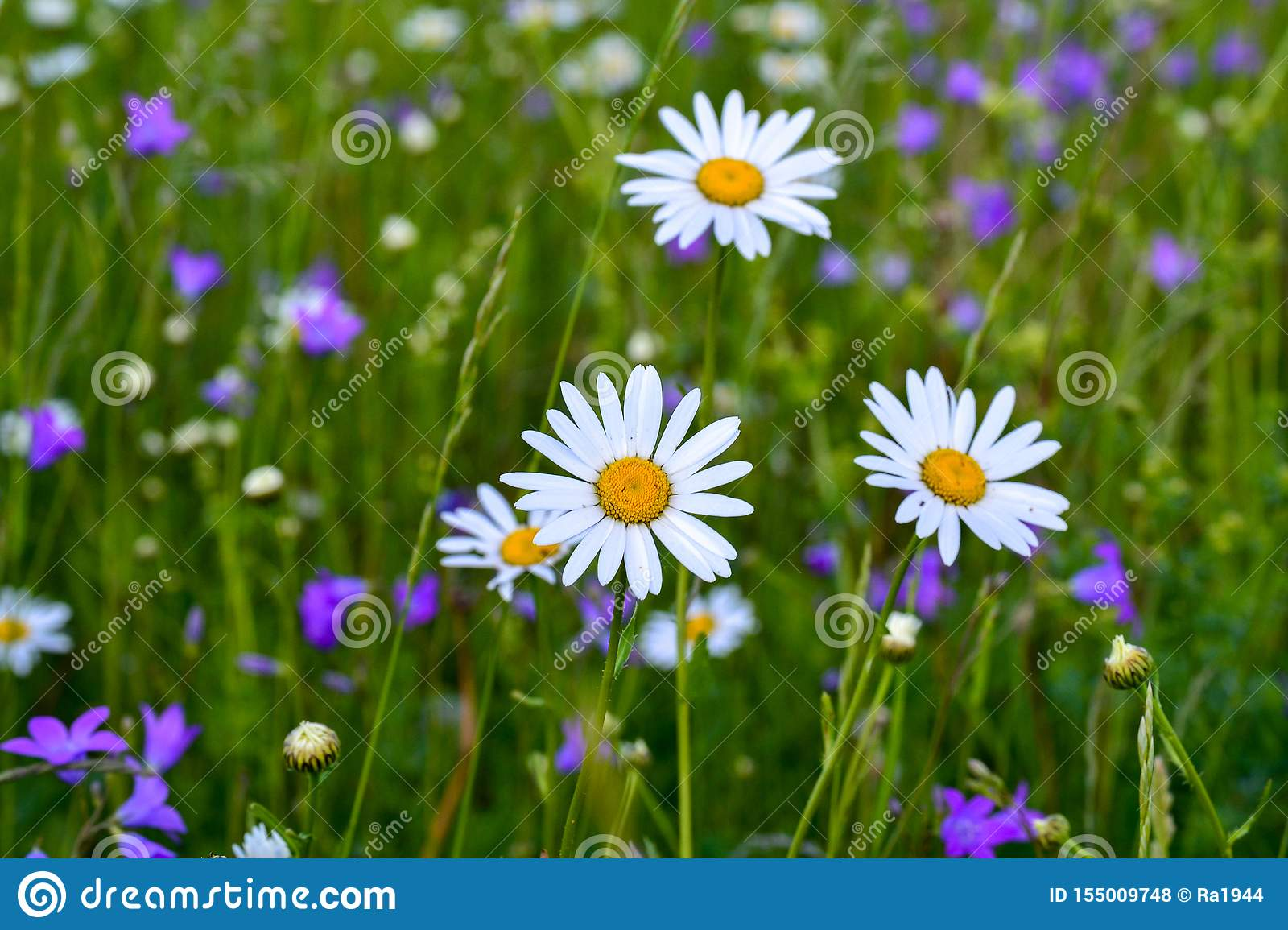 Three white daisies in a field among other wild flowers