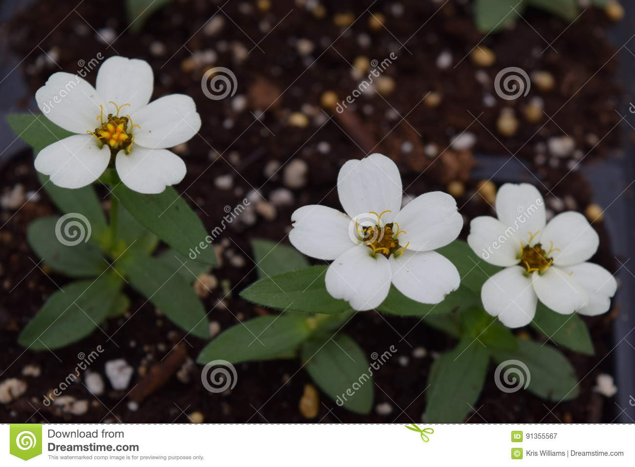 Three white detailed flowers in dirt