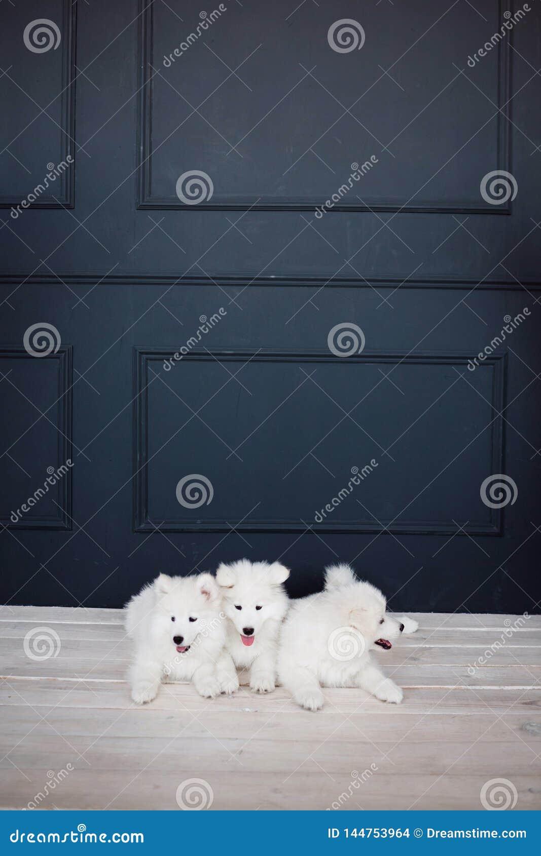 Three white fluffy Samoyed puppy