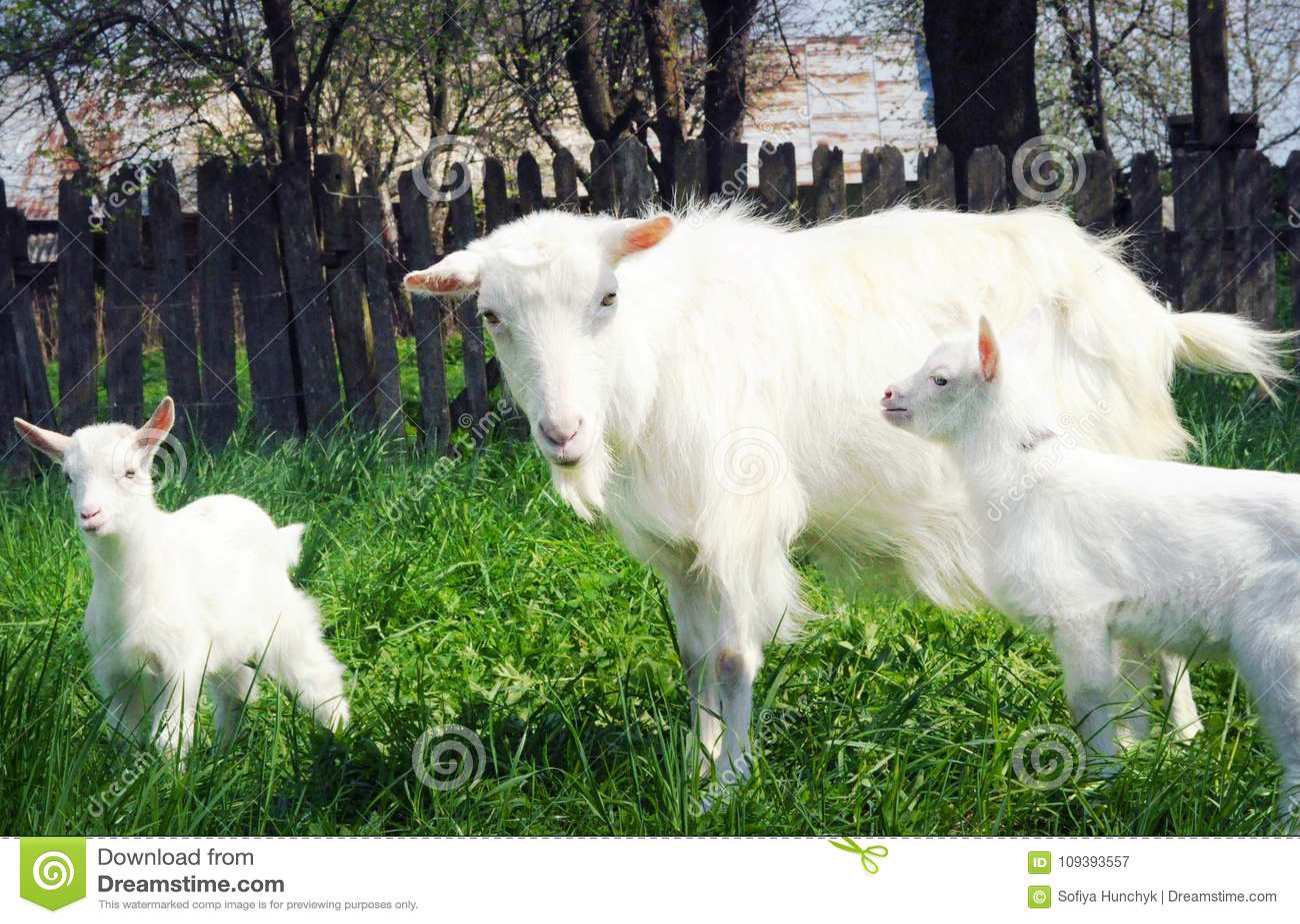 Three white goats standing among green grass