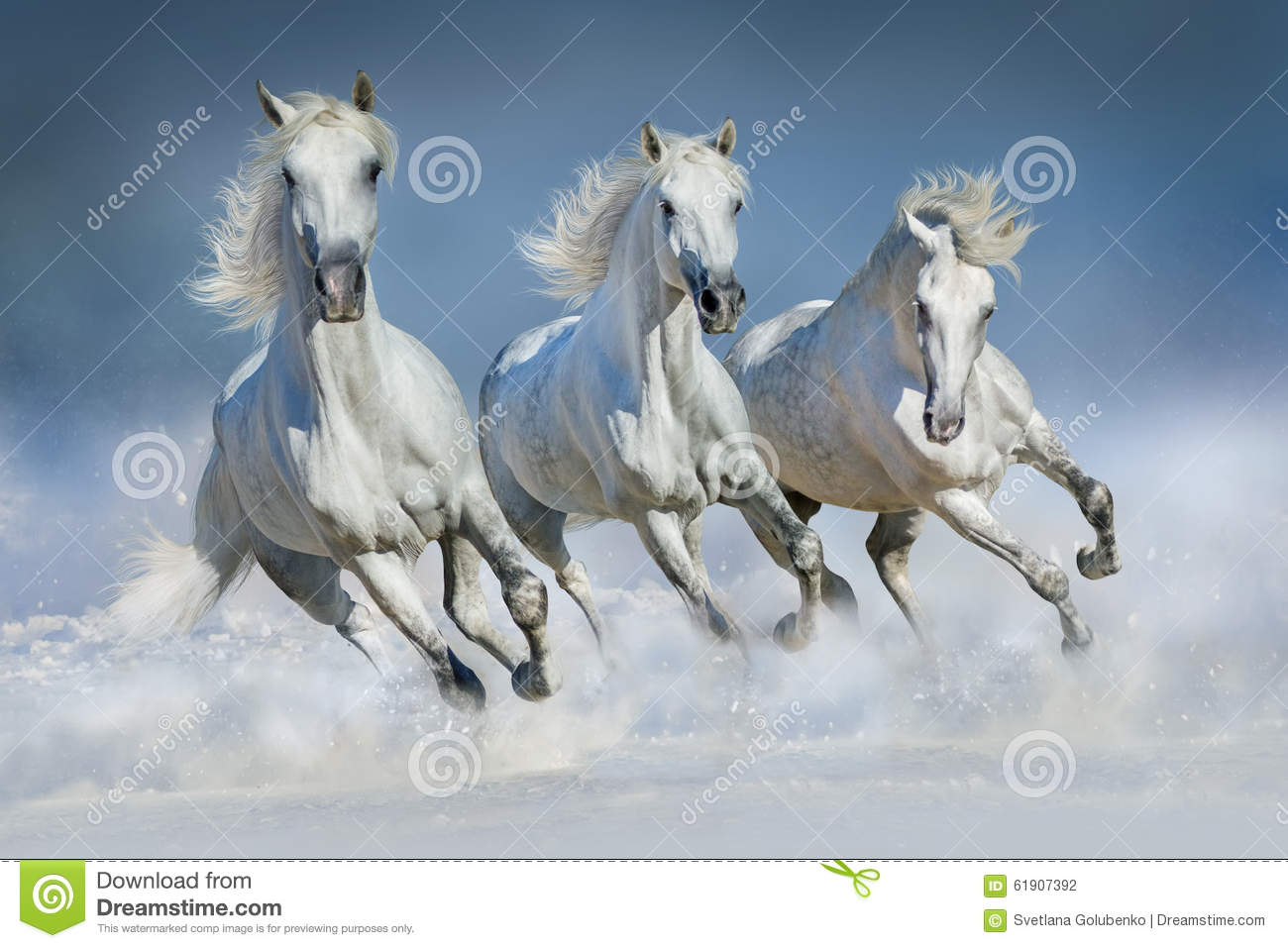 Three White Horse Run In Snow Stock Photo Image Of Color Outdoor 61907392