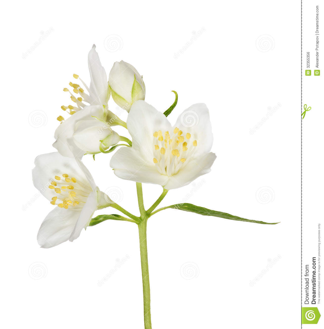 Three White Jasmine Flowers On Branch Stock Photo