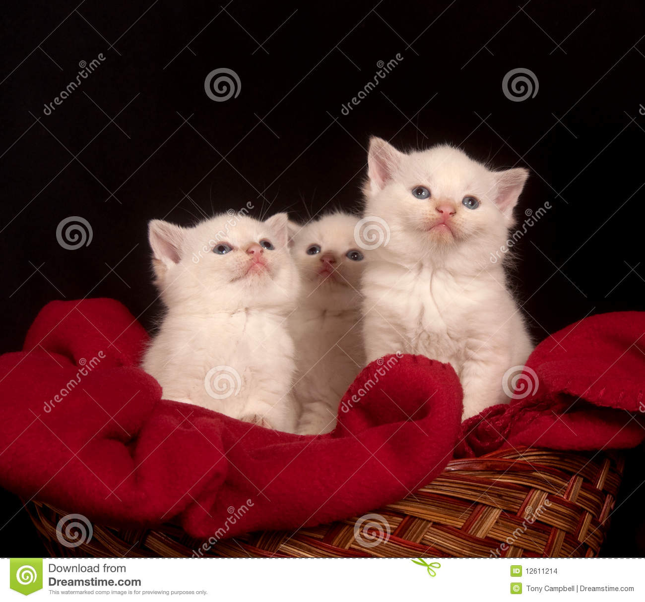 Three White Kittens In A Basket Stock Images - Image: 12611214