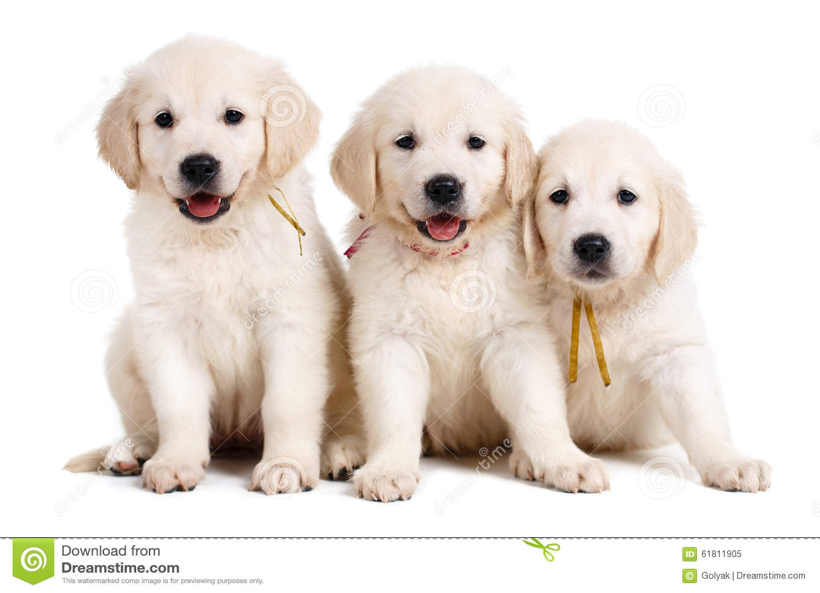 Three White Labrador Puppy On White Background Stock Image Image Of Pets Child 61811905