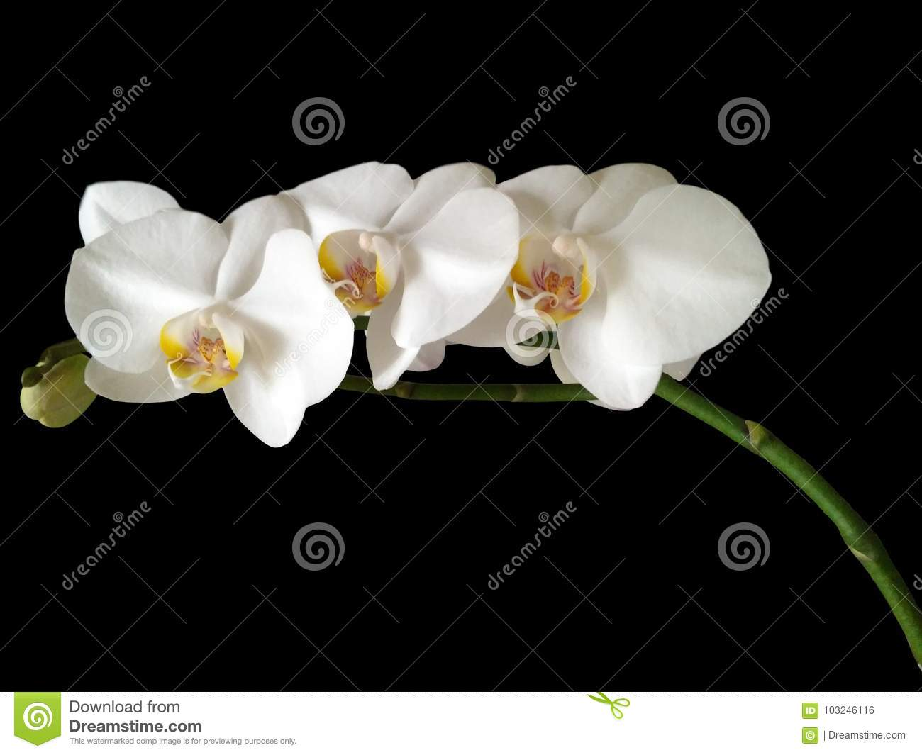 Three White Orchid Flowers Stock Photo Image Of Blooming 103246116