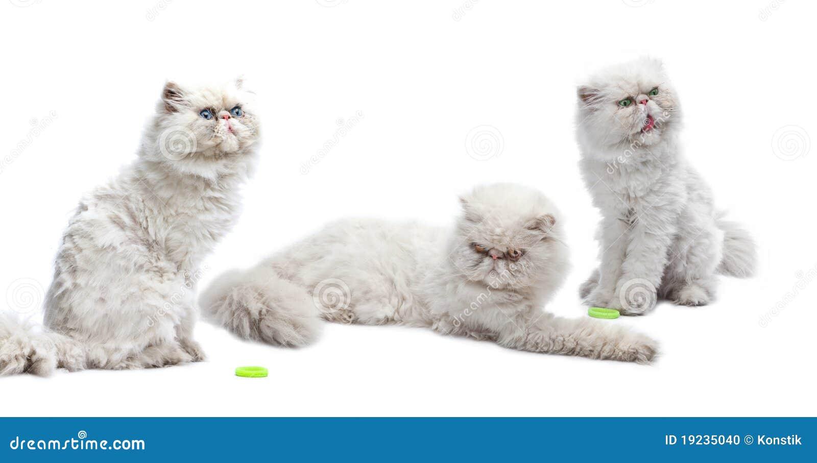 Three white Persian cats