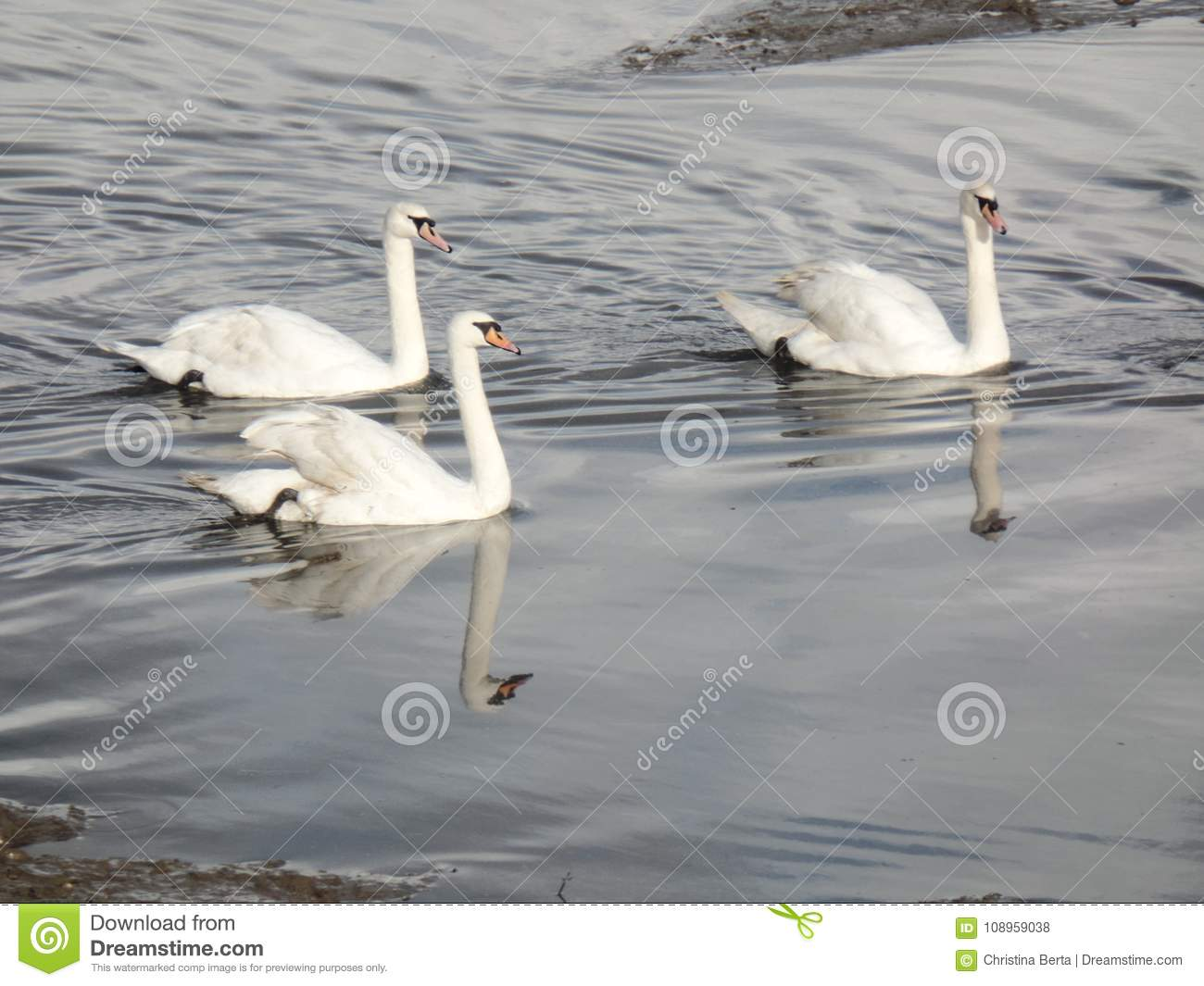 Three white swans in the river