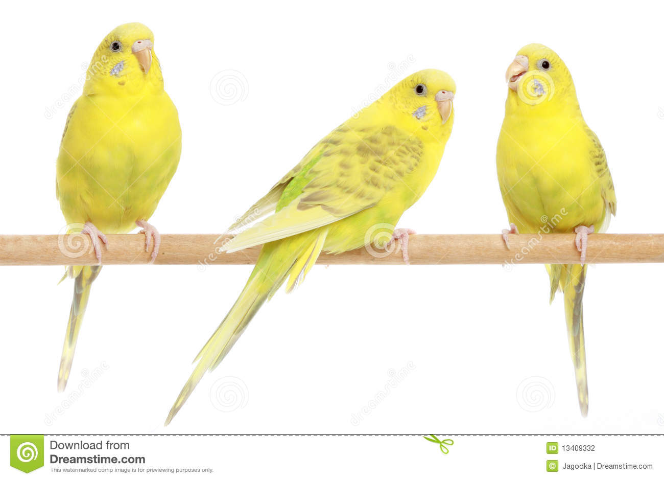 Three Yellow Budgie On Branch Stock Photography - Image: 13409332