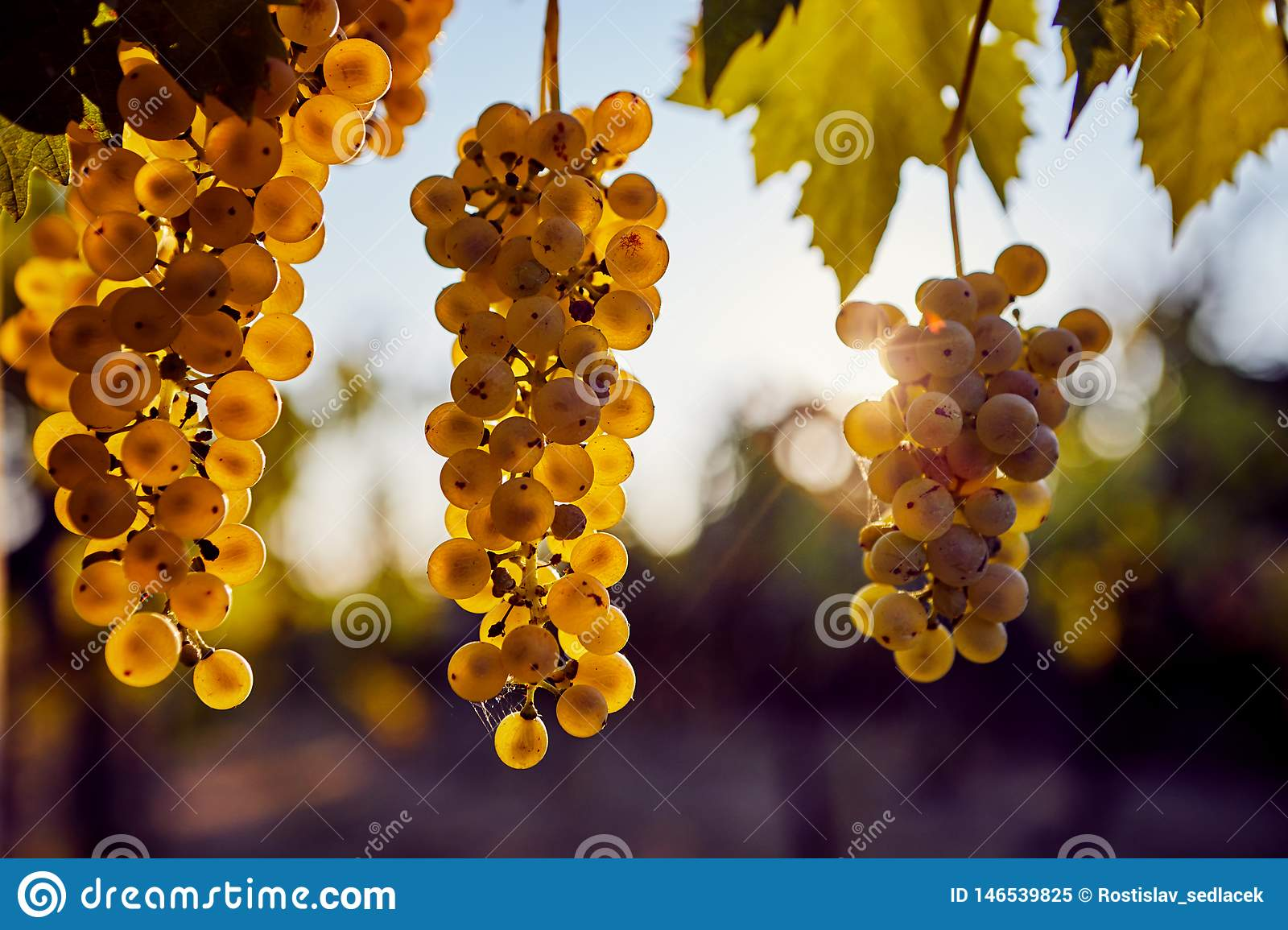 Three yellow grapes hanging on the vine