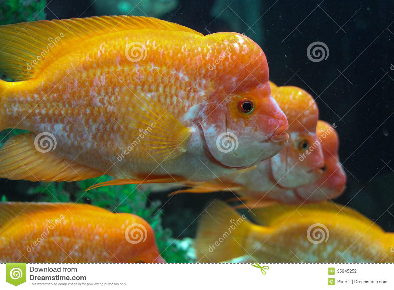 Three yellow hump sea fish stock photo image of pursuit for Image of fish