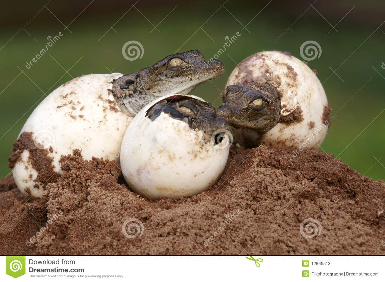 Three Young Nile Crocodiles hatching from eggs