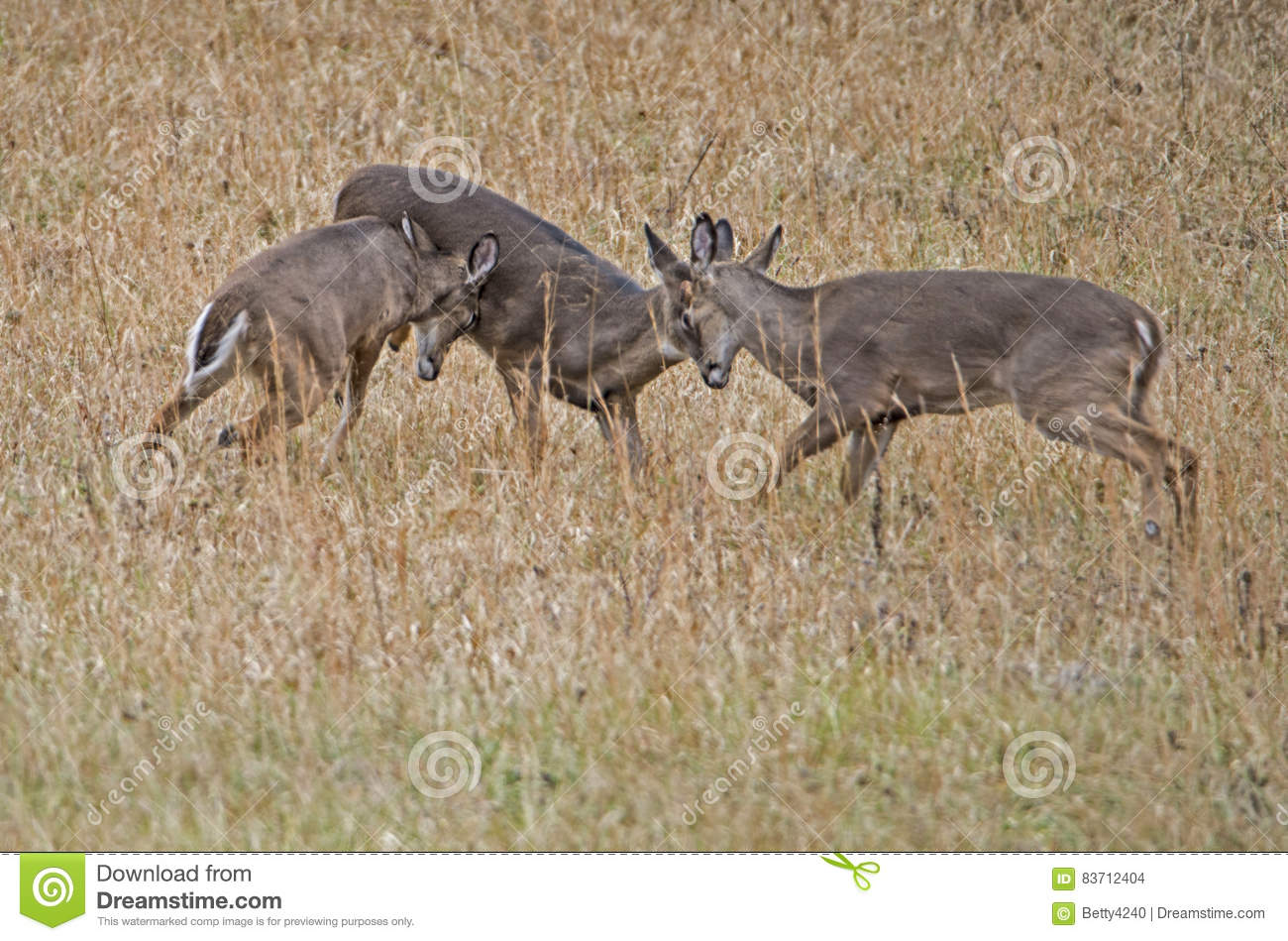 Three Young White Tailed Bucks Playing Together. Stock Photo
