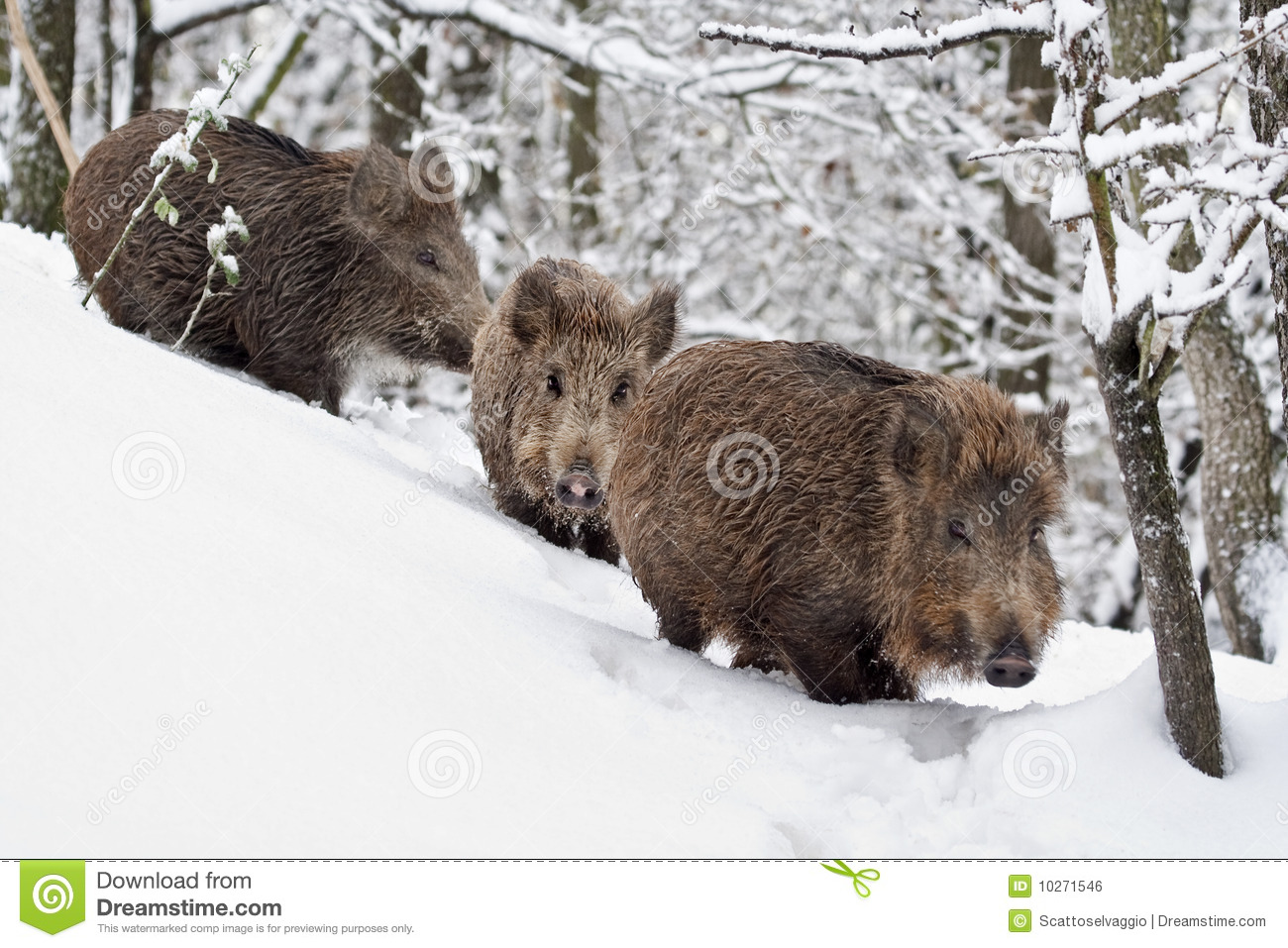 Young wild boar walking in the snow (Sus scrofa)