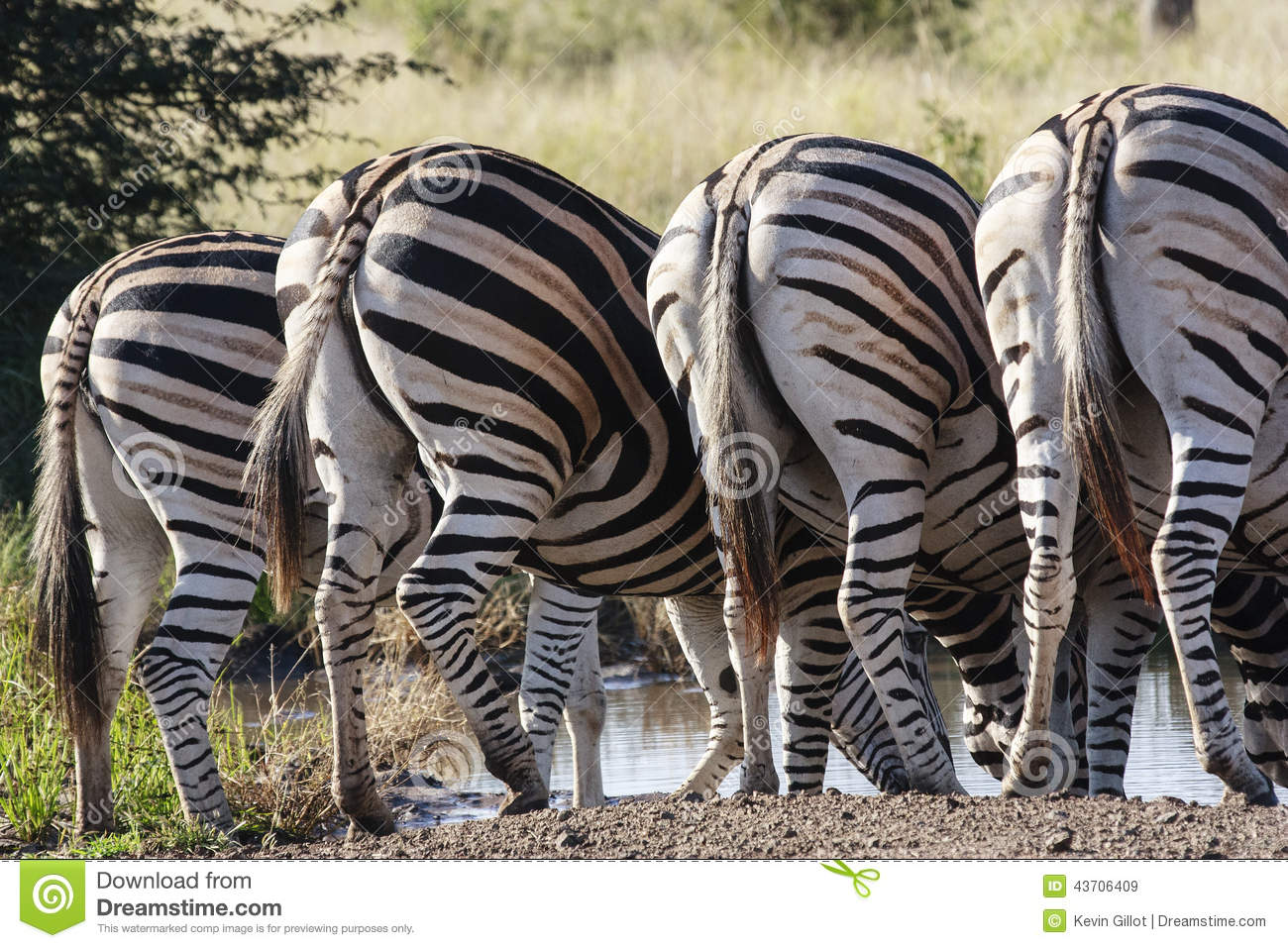 Three Zebra drinking