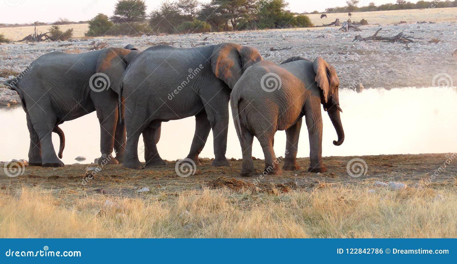 Threesome del elefante