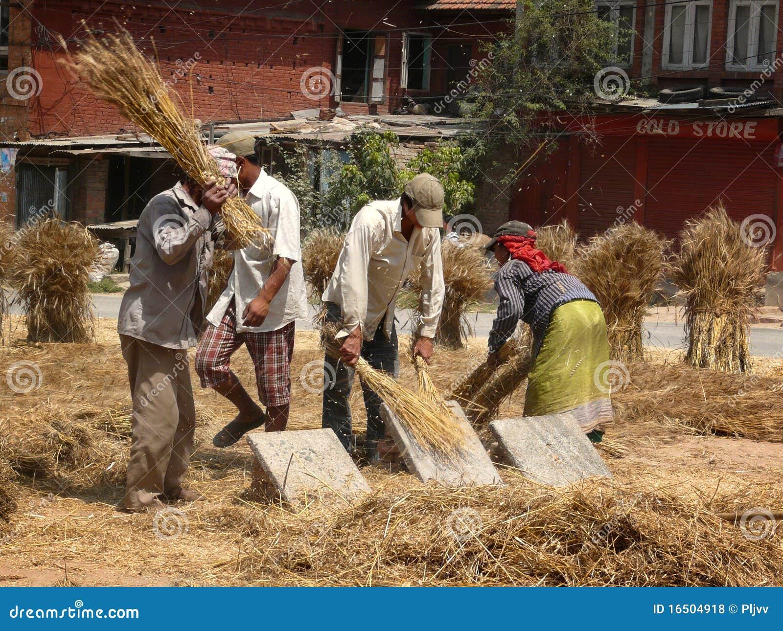 Обмолот пшеницы