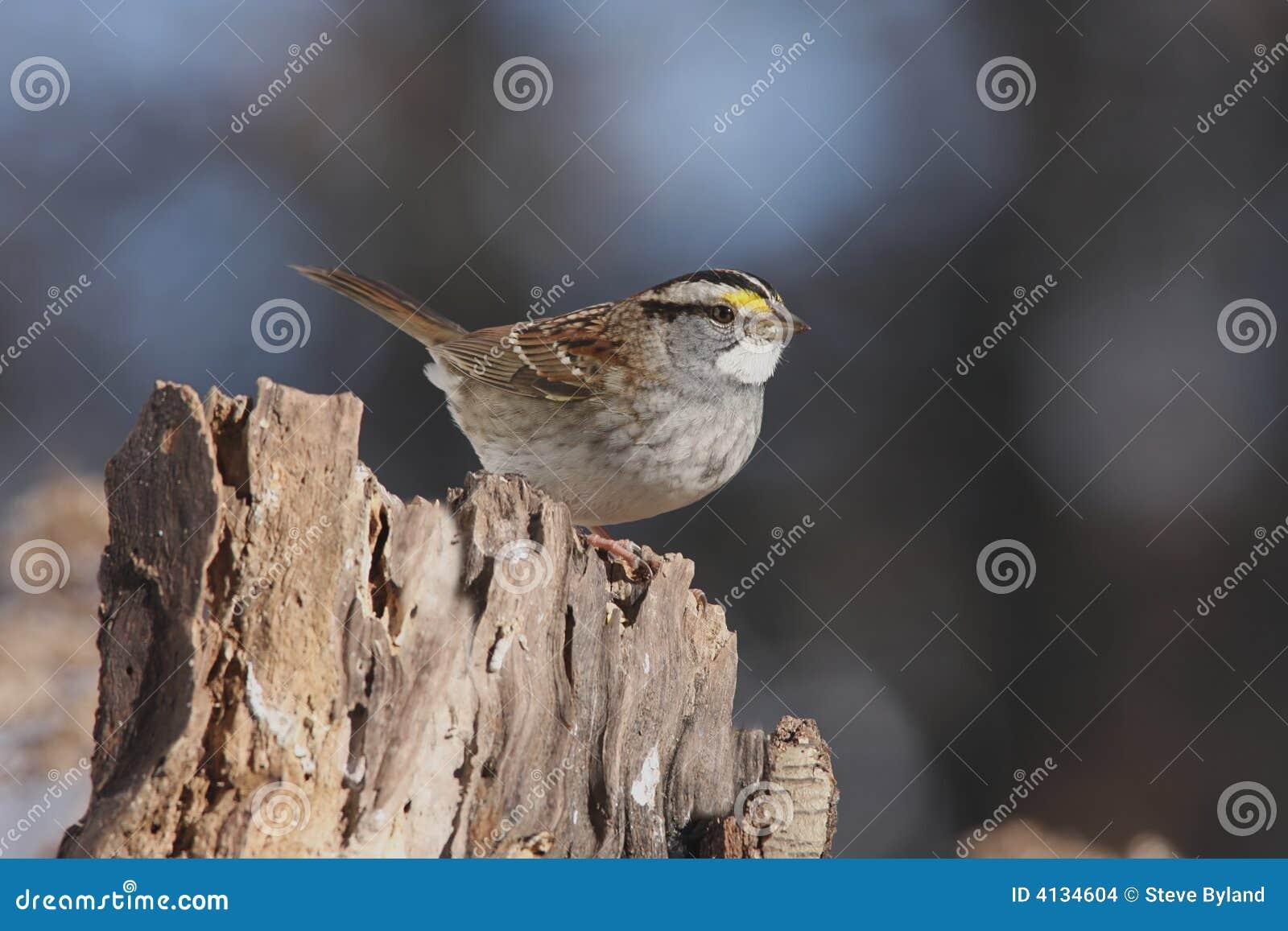 Throated vit zonotrichia för albicollissparrow