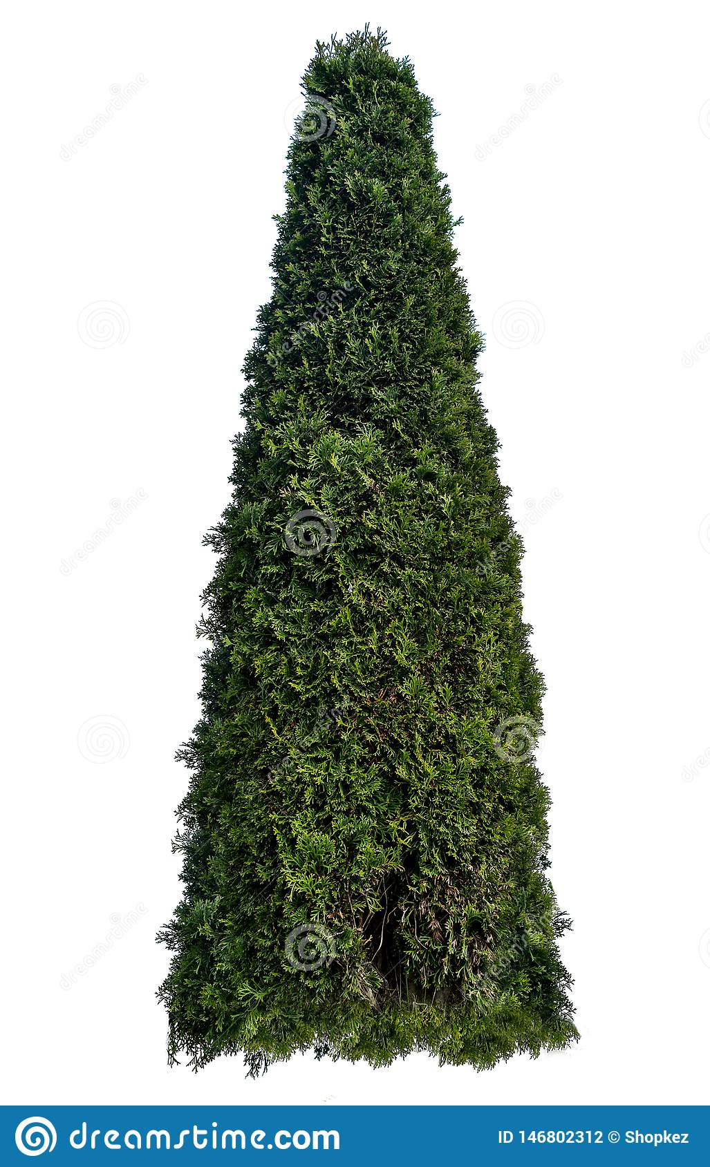 Thuja occidentalis, also known as northern white-cedar or eastern arborvitae, is an evergreen coniferous tree, in the cypress