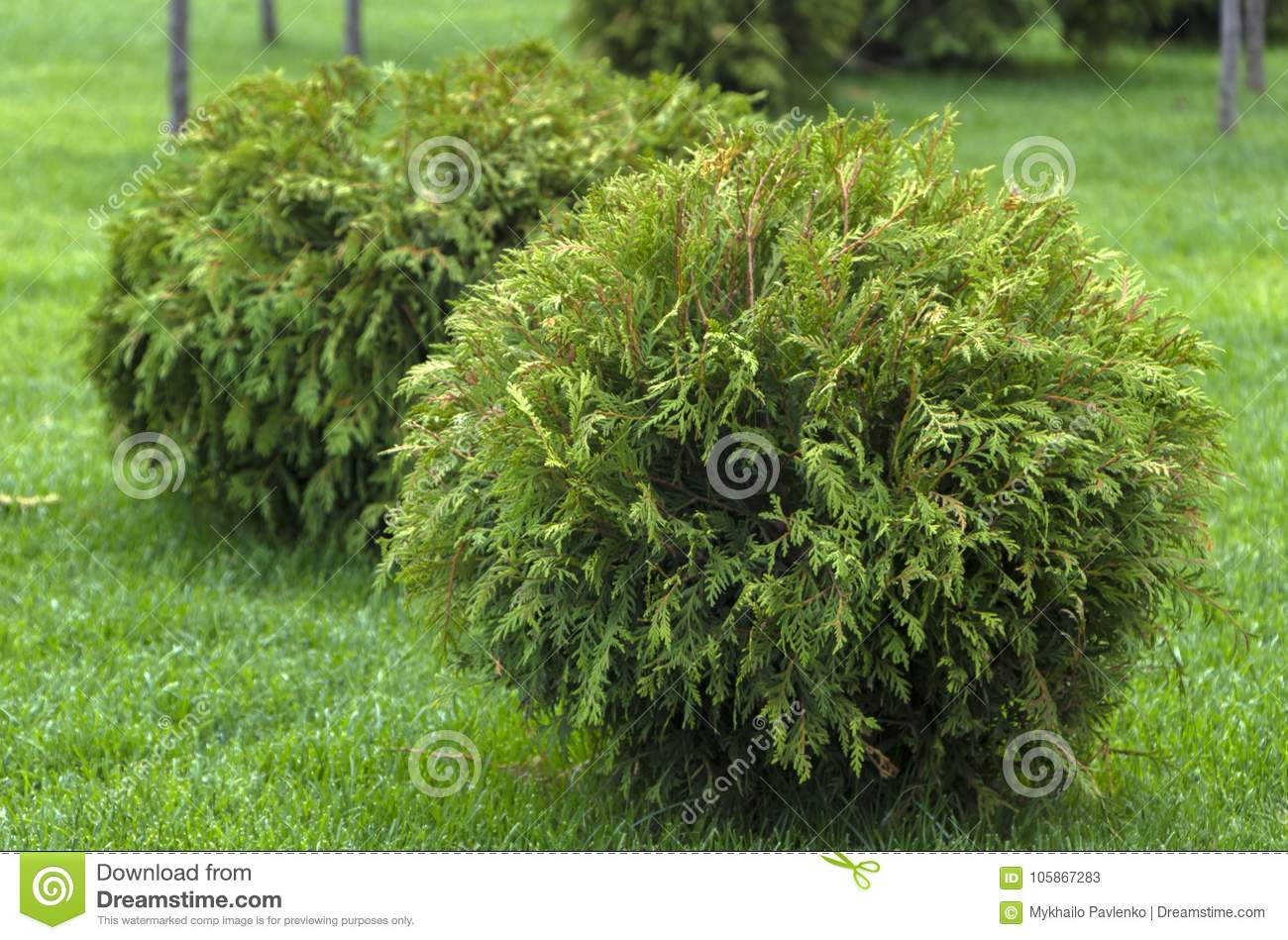 Thuja occidentalis Danica round shape Decorative garden