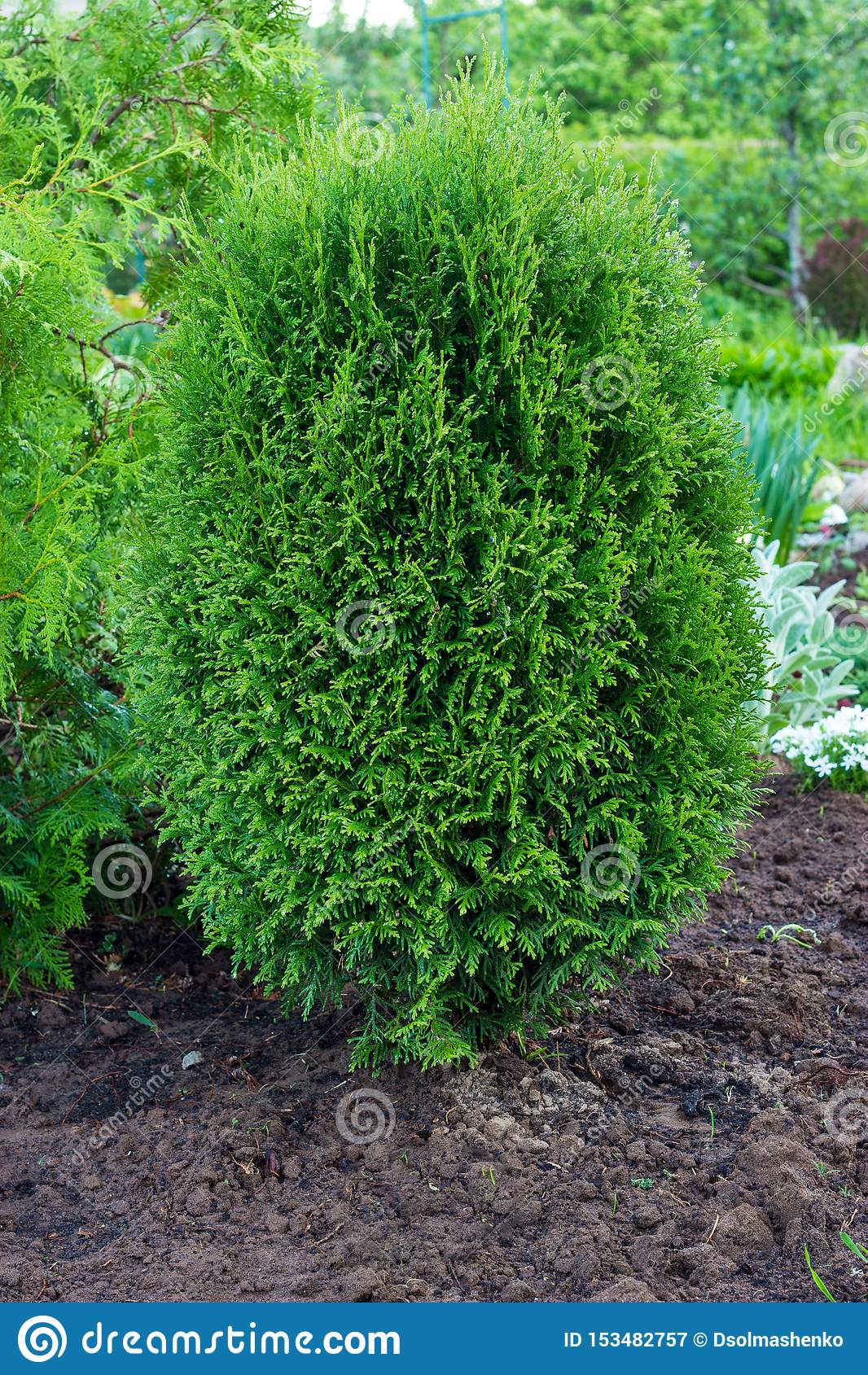 Thuja occidentalis is an evergreen coniferous tree. Evergreen conifers in landscape design in the botanical garden
