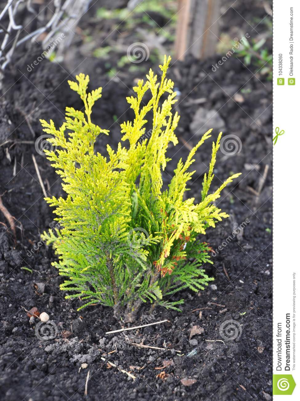 Thuja occidentalis with yellow leaves.Yellow cedar. They are commonly known as arborvitaes, thujas or cedars.