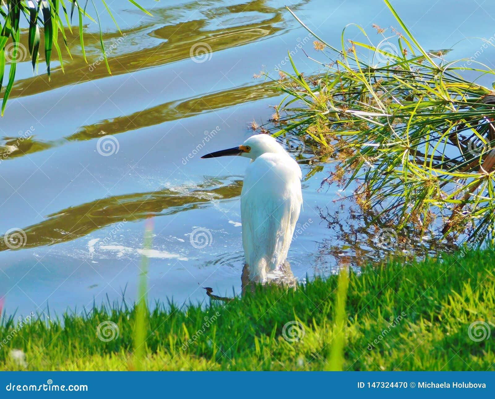 Thula do Egretta do egret nevado, garça-real branca pequena