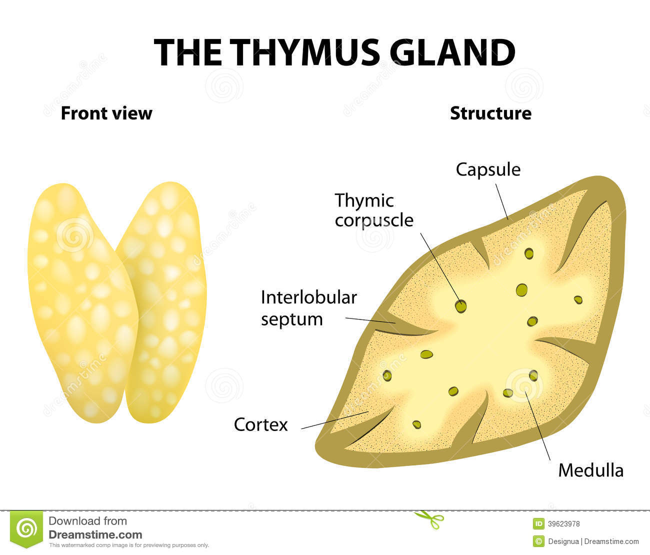 Royalty Free Stock Photos Thumys Gland Anatomy Thymus Structure Vector Diagram Lies Thoracic Cavity Just Above Heart Secretes Thymosin Image39623978
