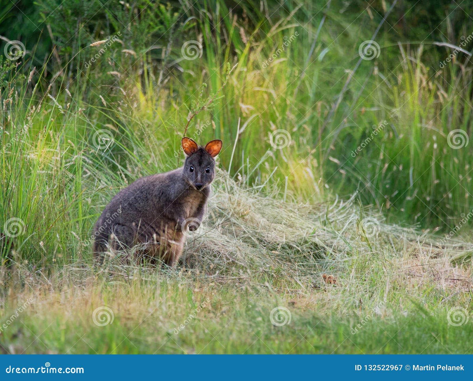 Thylogale billardierii - Tasmanian Pademelon known as the rufous-bellied pademelon or red-bellied pademelon