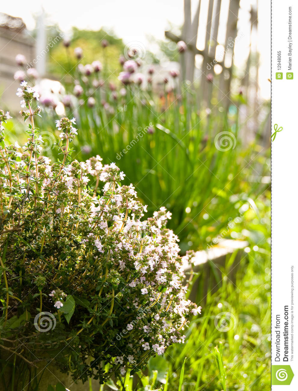Thyme In Sunny Garden Royalty Free Stock Photo Image