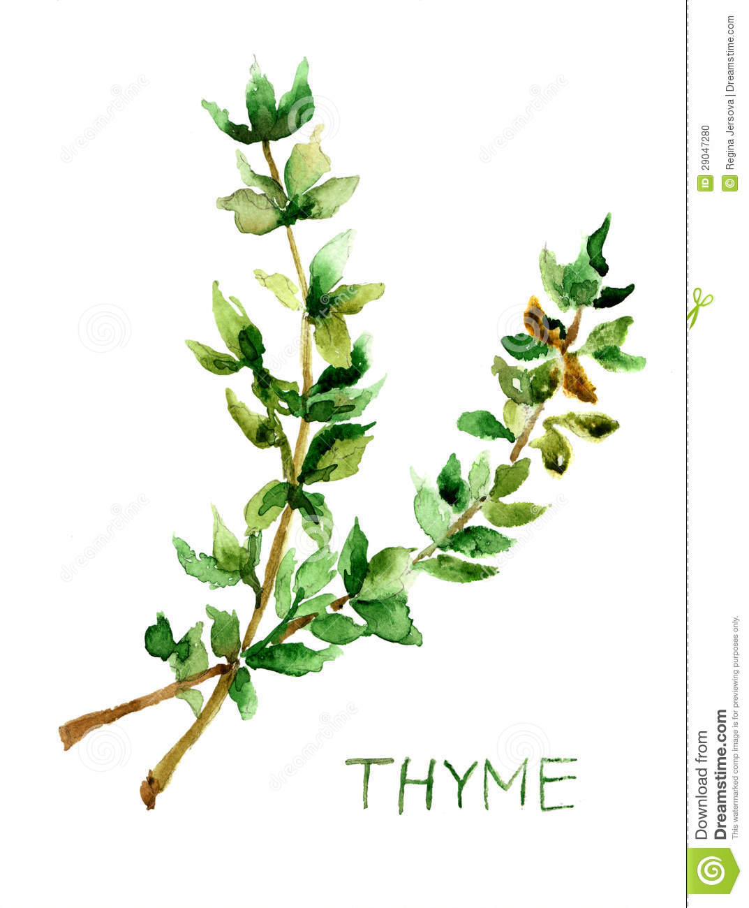 Thyme, Watercolor Illustration Stock Photo - Image: 29047280