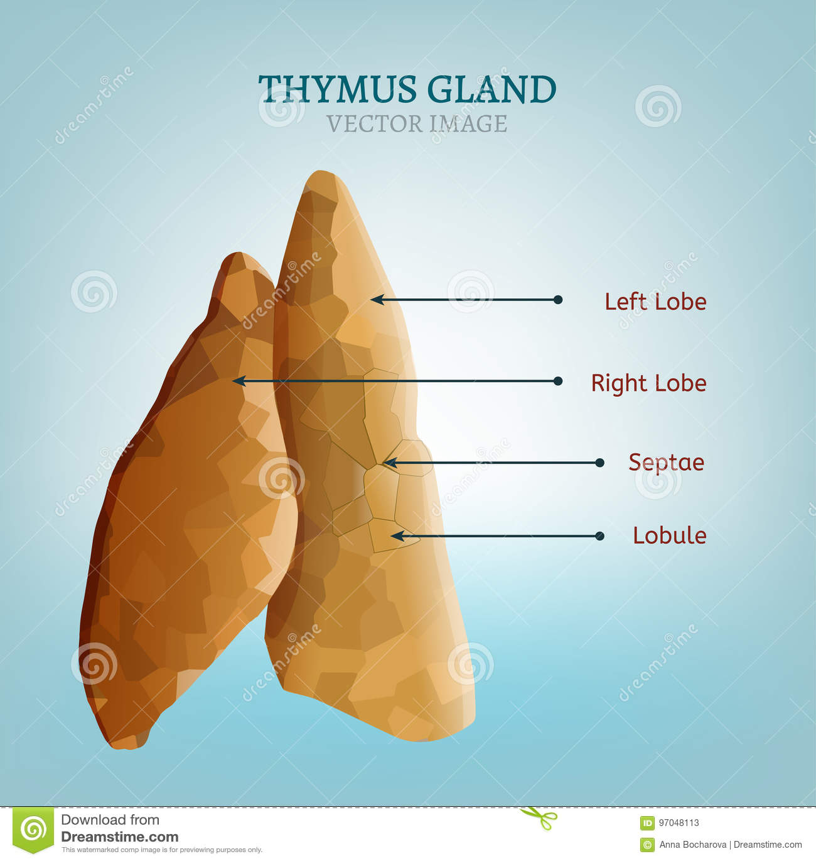 Thymus Gland Image Stock Vector Illustration Of Immune 97048113