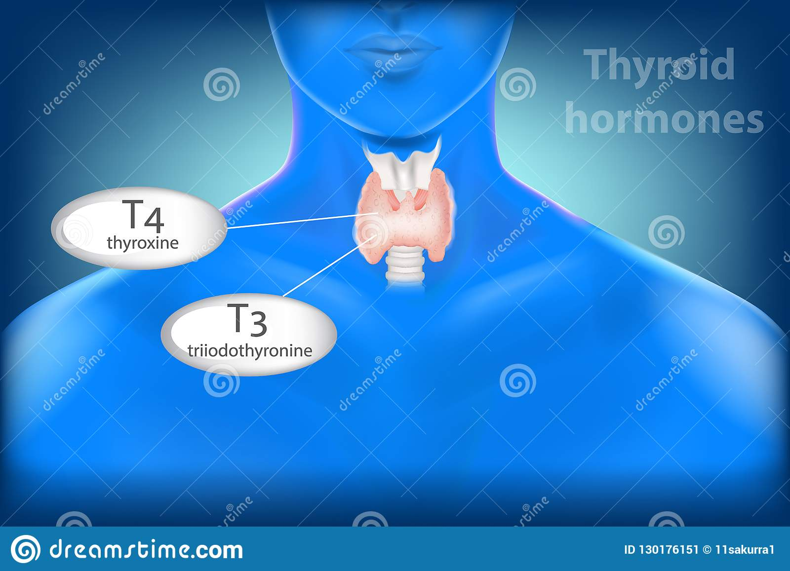Thyroid Gland Anatomy Thyroid Hormones Stock Vector Illustration