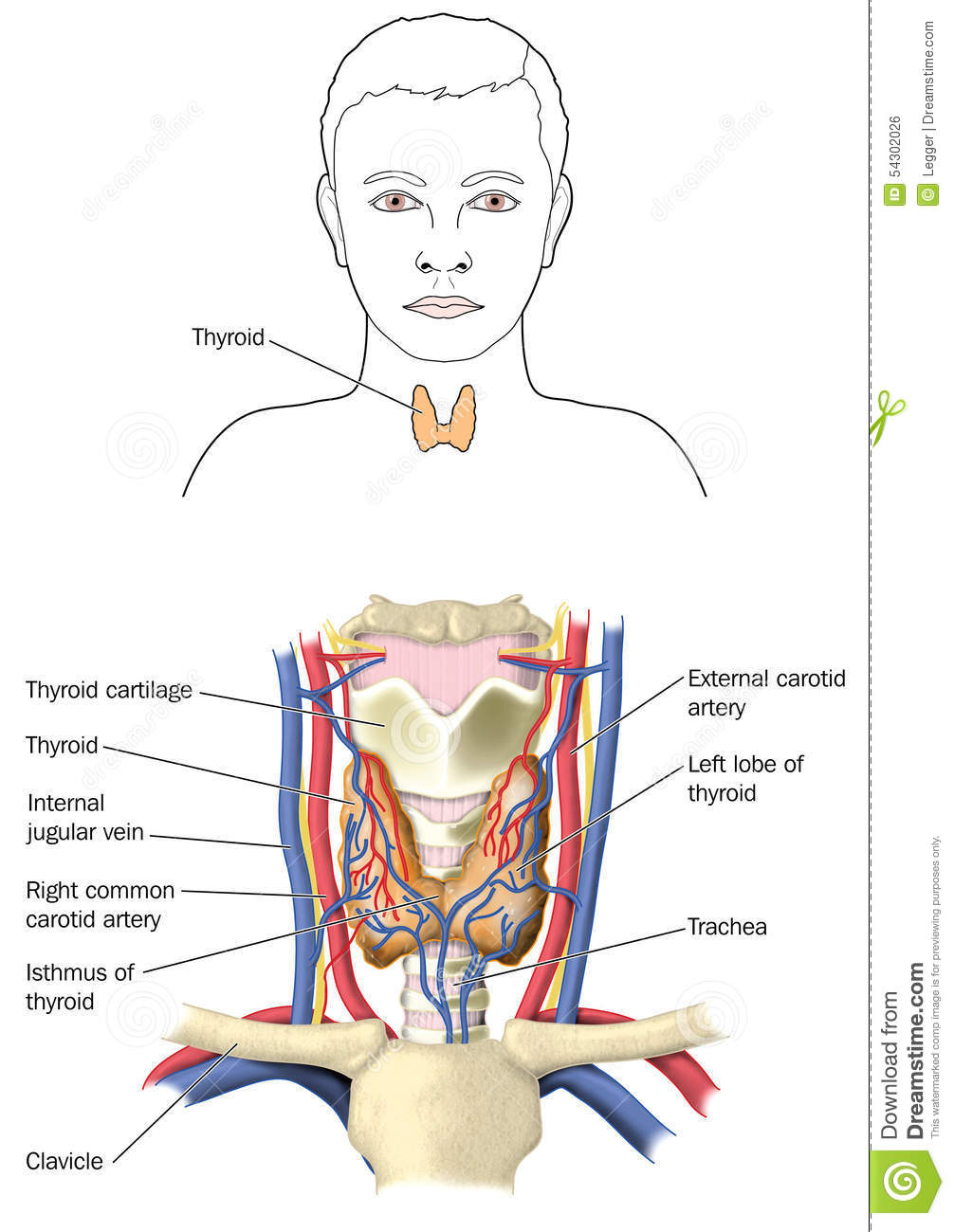 The thyroid gland stock illustration. Illustration of structures ...