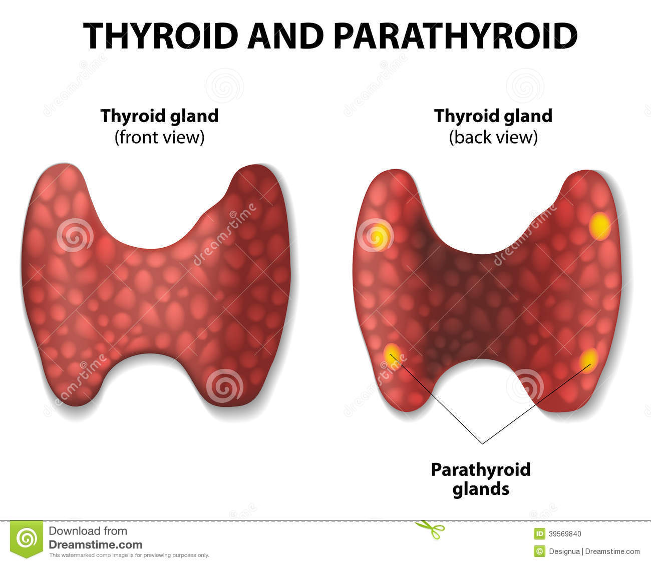Thyroid and parathyroid. stock vector. Illustration of ...