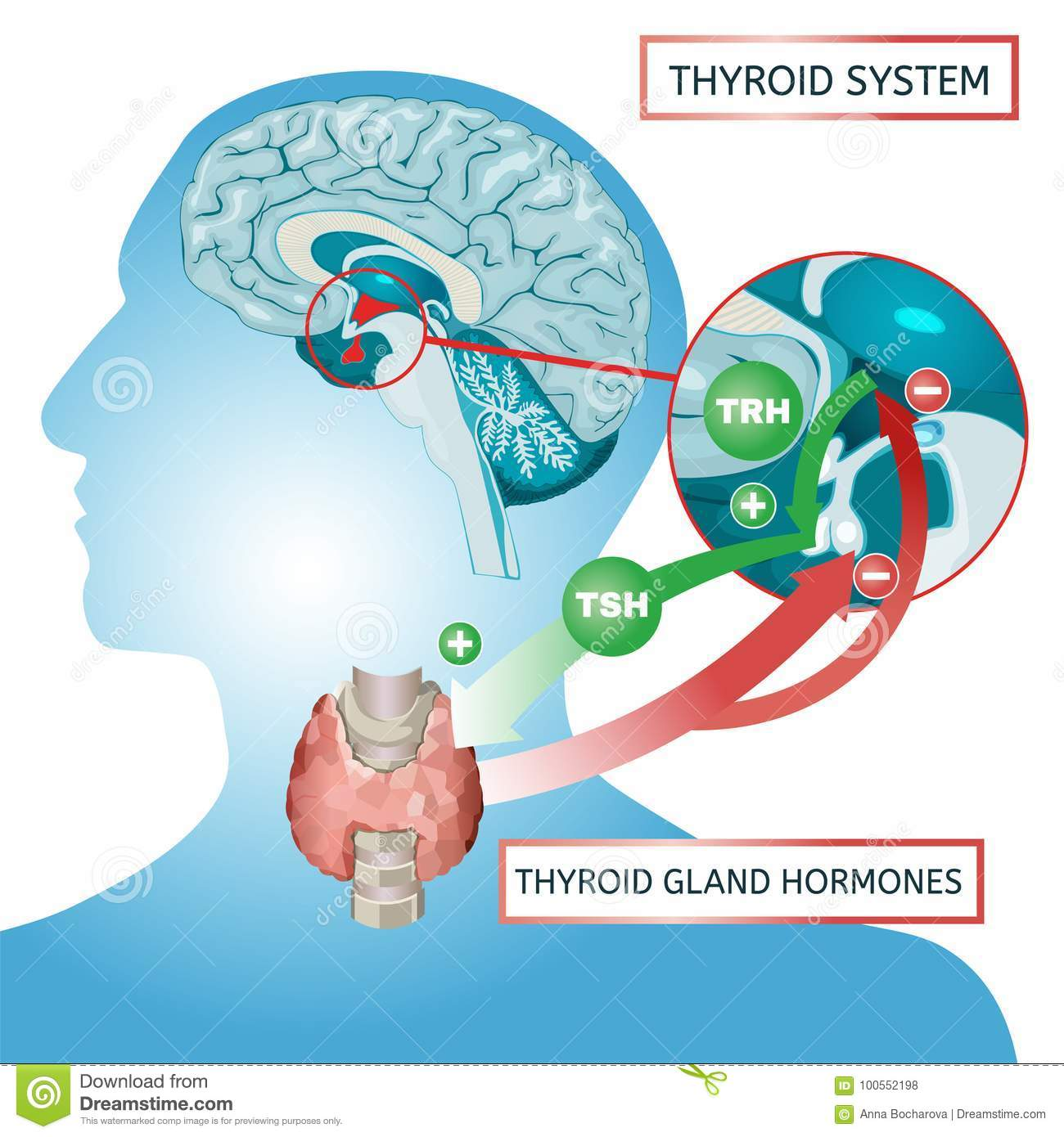 Thyroid System Poster stock vector. Illustration of endocrinology ...