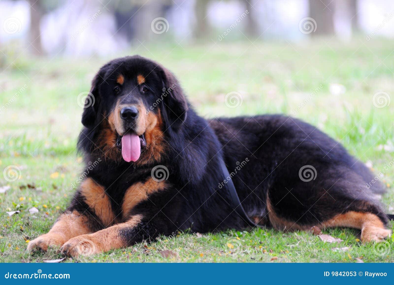 Tibentan Mastiff Dog